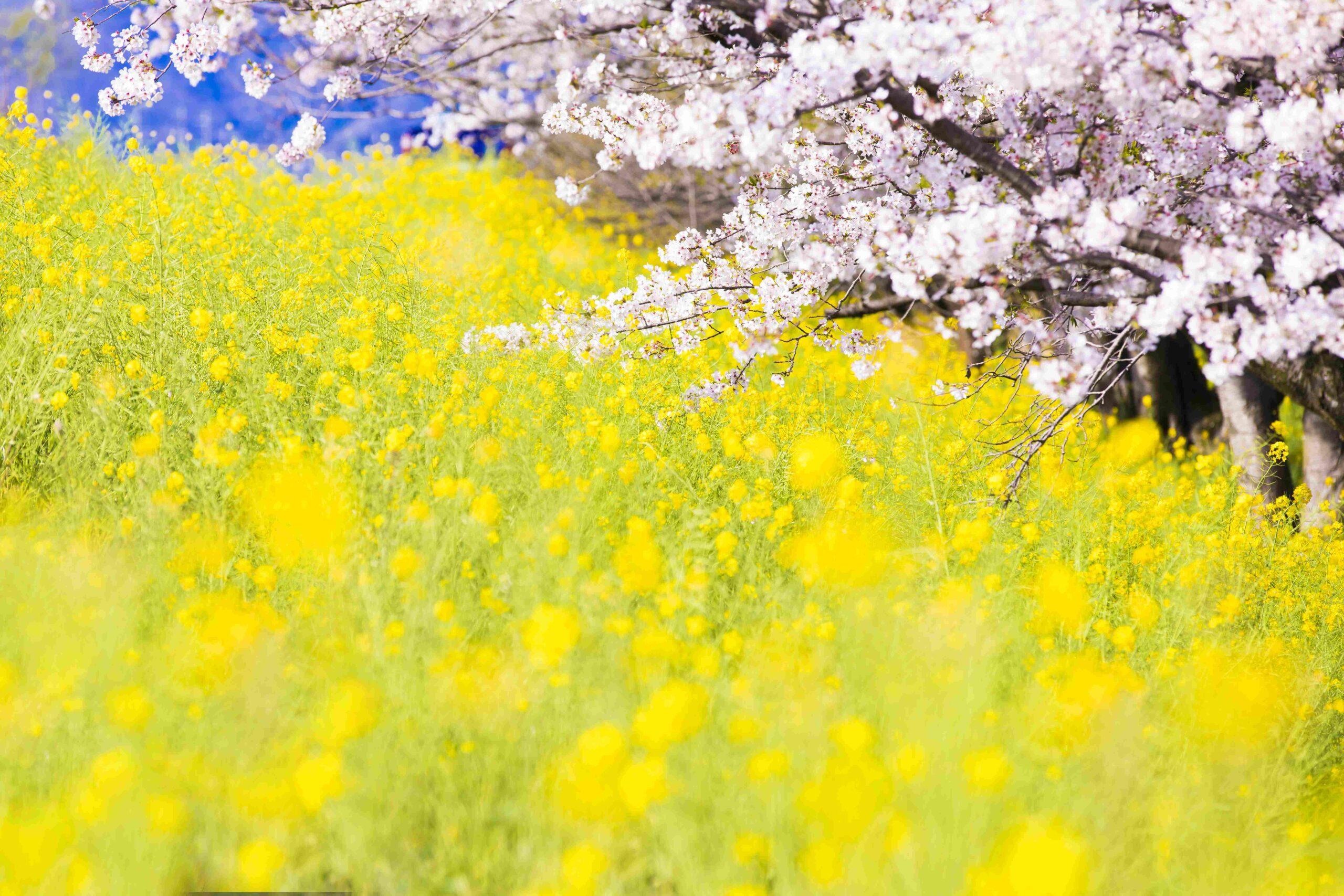 菜の花 (2)_R